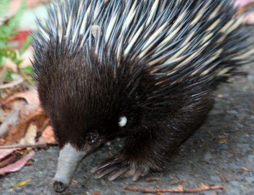 Paper confirms Australian variety of Borrelia in Echidna Ticks